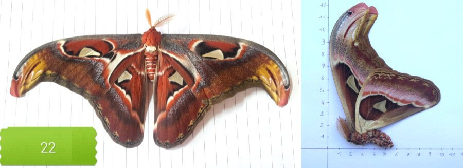 Attacus atlas dried unmounted