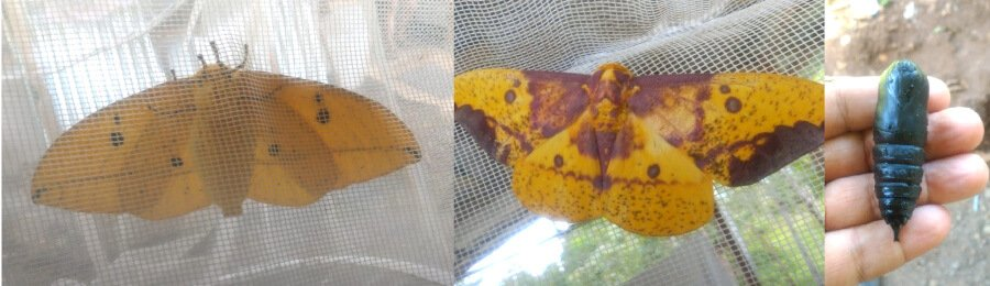 Eacles imperialis imperial moth
