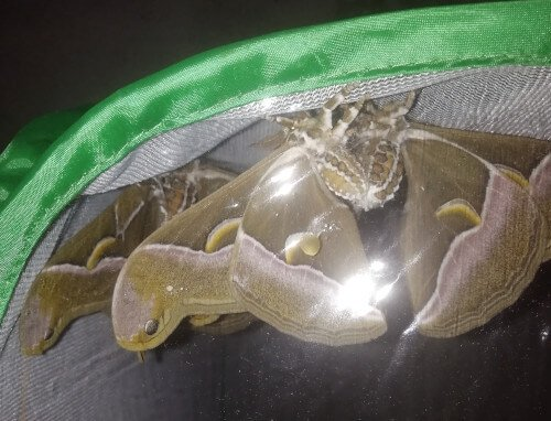 Samia cynthia silk moth