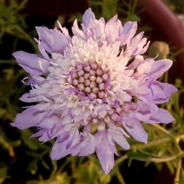 scabiosa atropurpurea seeds hostplant foodplant nectar butterfly