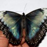 Morpho helenor dried specimen