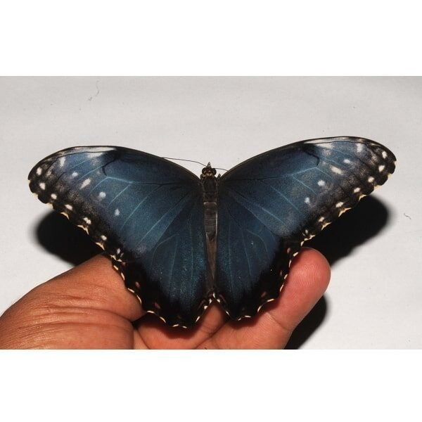 unmounted morpho helenor