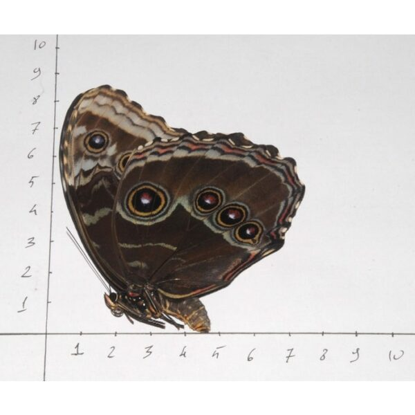 morpho helenor for sale