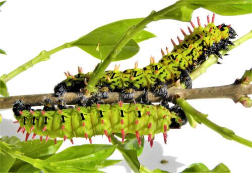 Rearing breeding antherina suraka