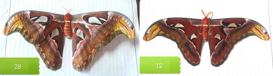 Attacus atlas moth collection