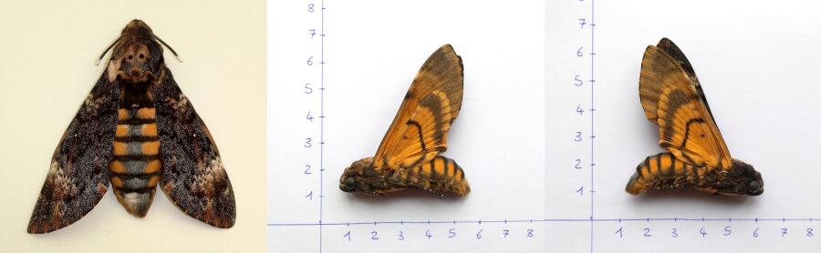 Death's head hawk moth acherontia