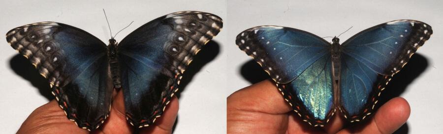 Morpho helenor collection specimen