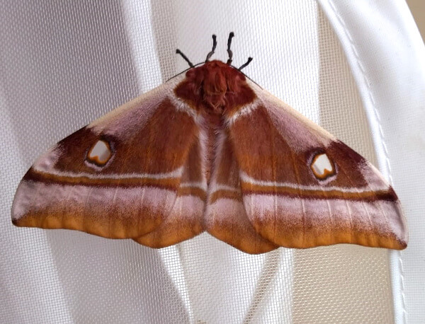 Madagascar emperor moth livestock