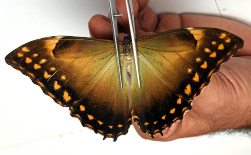 Morpho telemachus dried unmounted