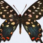 Papilio antenor pupae for sale