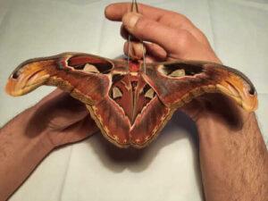 Attacus atlas moth aberration