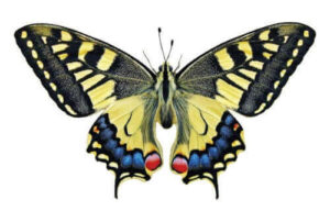 Papilio machaon macaone