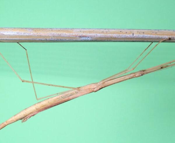 Sipyloidea sipylus