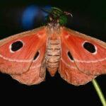 Melanocera menippe saturniidae