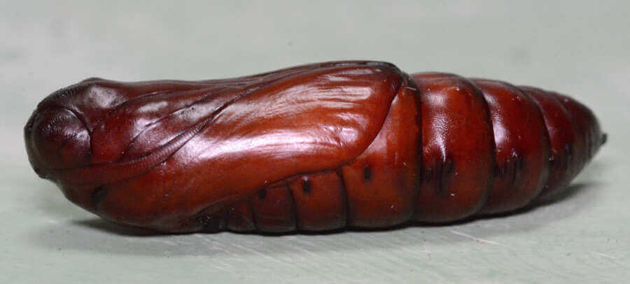 Acherontia atropos pupa