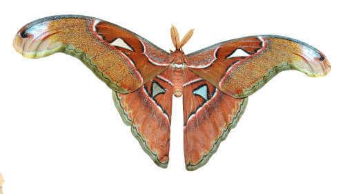 Attacus lorquini