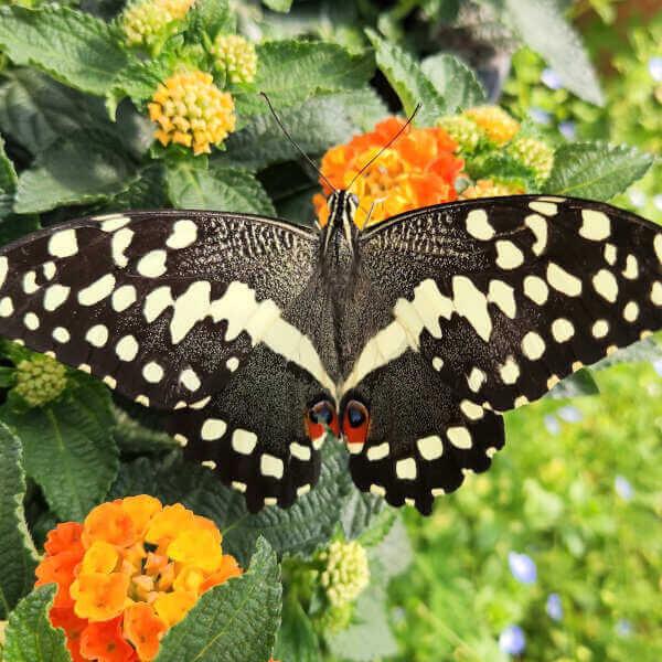 Papilio demodocus eggs