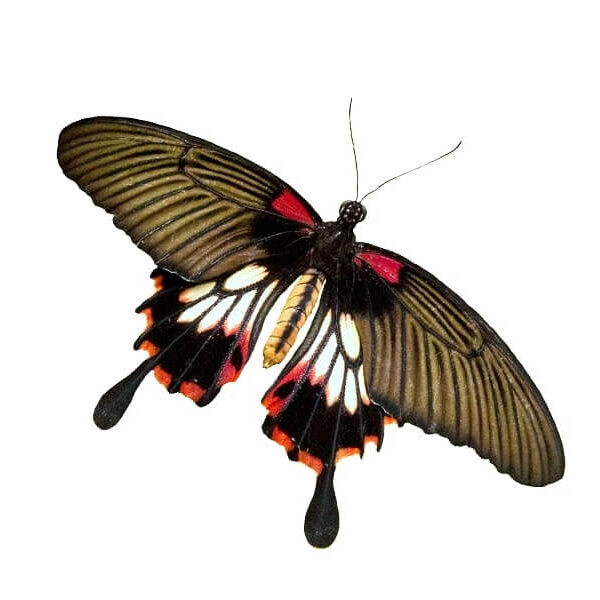 Papilio lowi for sale
