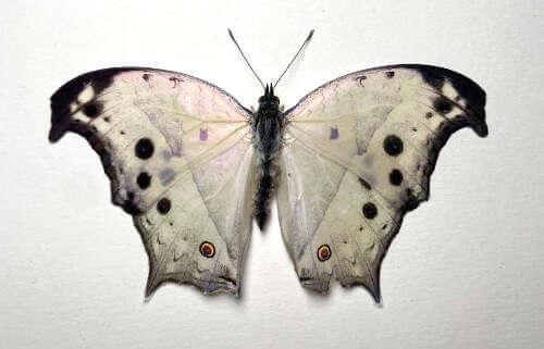 Lepidopteraa pupae Salamis parhassus