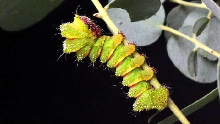Madagascan moon moth caterpillar