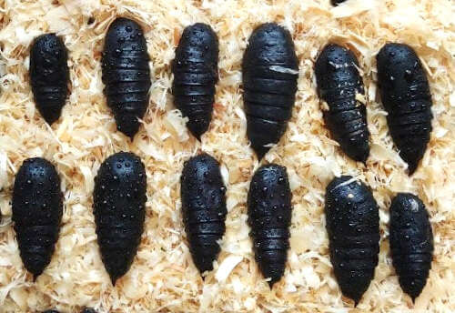 Moth pupae for sale