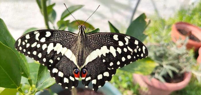 papilio demodocus swallowtail