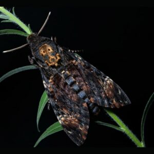 dried lepidoptera acherontia atropos
